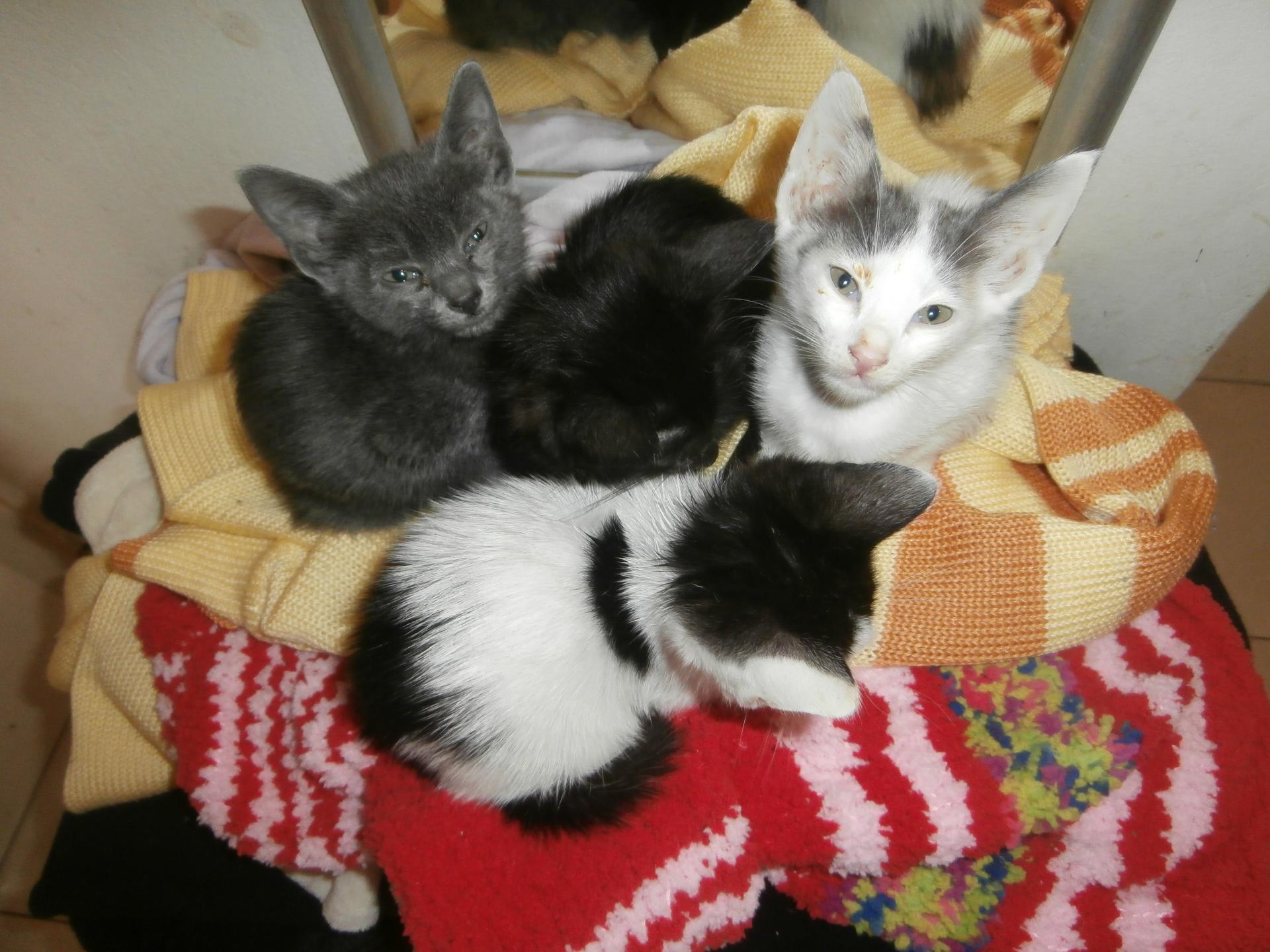 veliki crni klinci crna maca