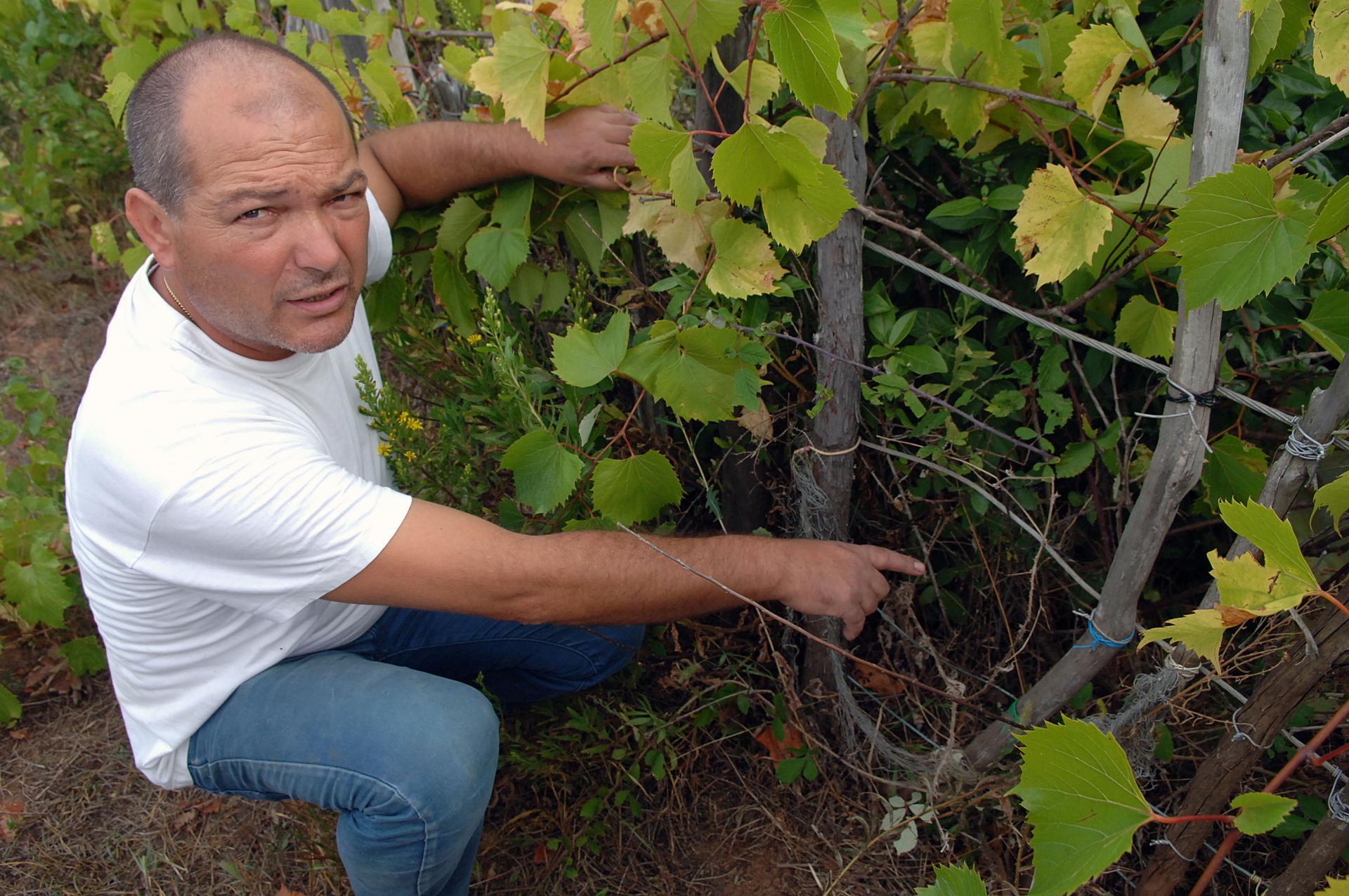 Veprovi uništavaju vinograde i na Mljetu: provlače se kroz ovakve rupe