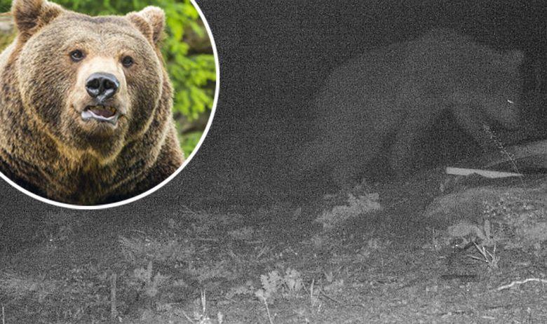 Medvjed Pelješac