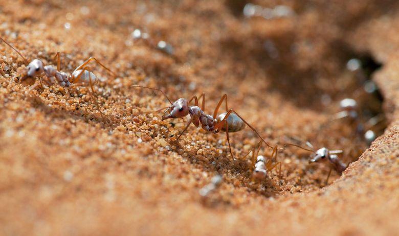 Saharski srebrni mrav