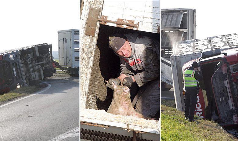 kamion svinje nesreća