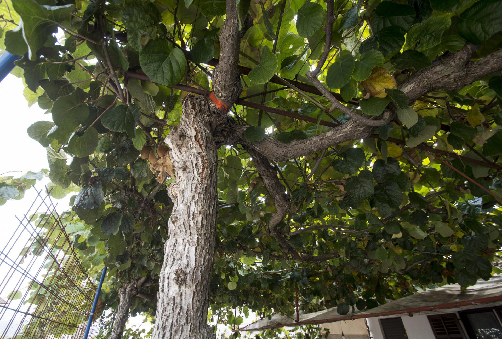Kiwi ili aktinidija u dolini Neretve proizvodi se već četrdesetak godina