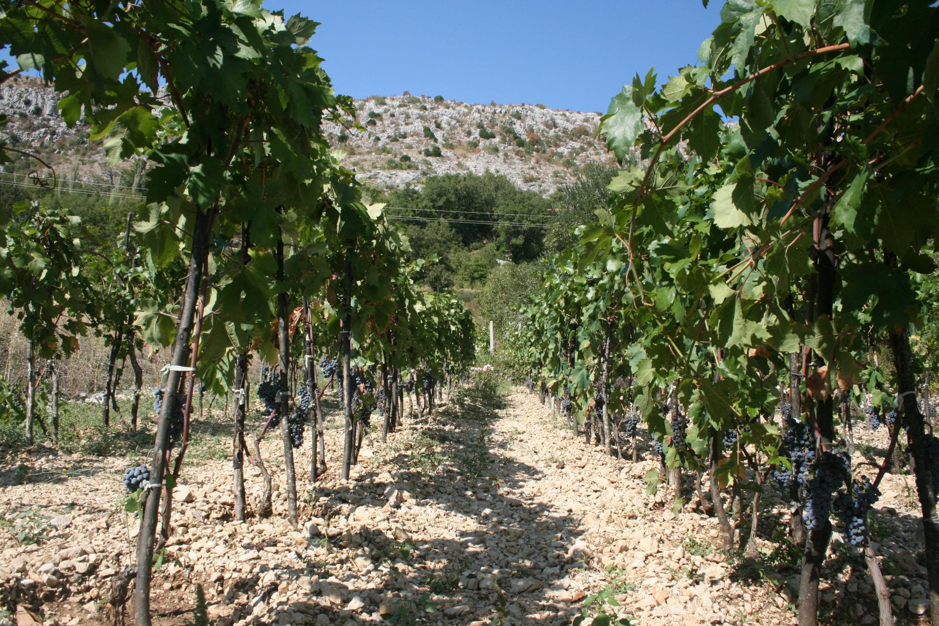 Rijetka slika vinograda u Katunima i Kreševu