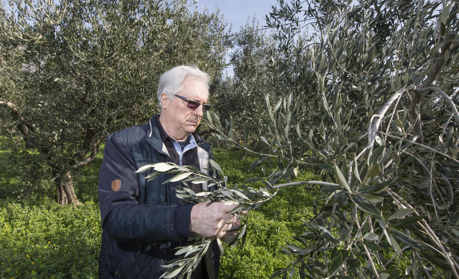 Dr. Mihovil Biočić pregledava masline