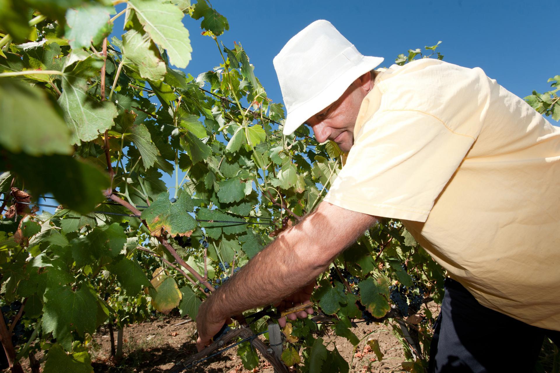 Željko Vrsaljko u svom vinogradu
