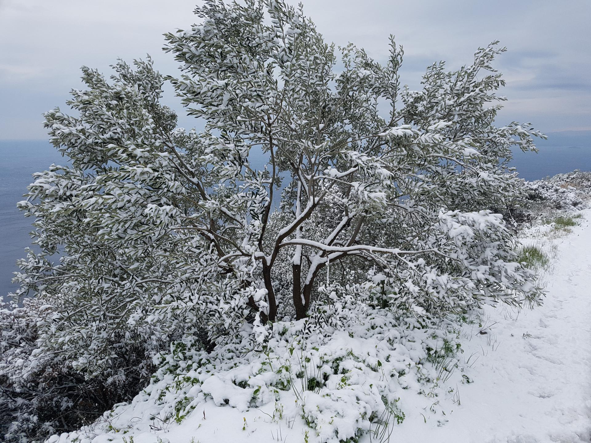 Maslina pod snijegom na Pelješcu, posljednjih dana ove veljače