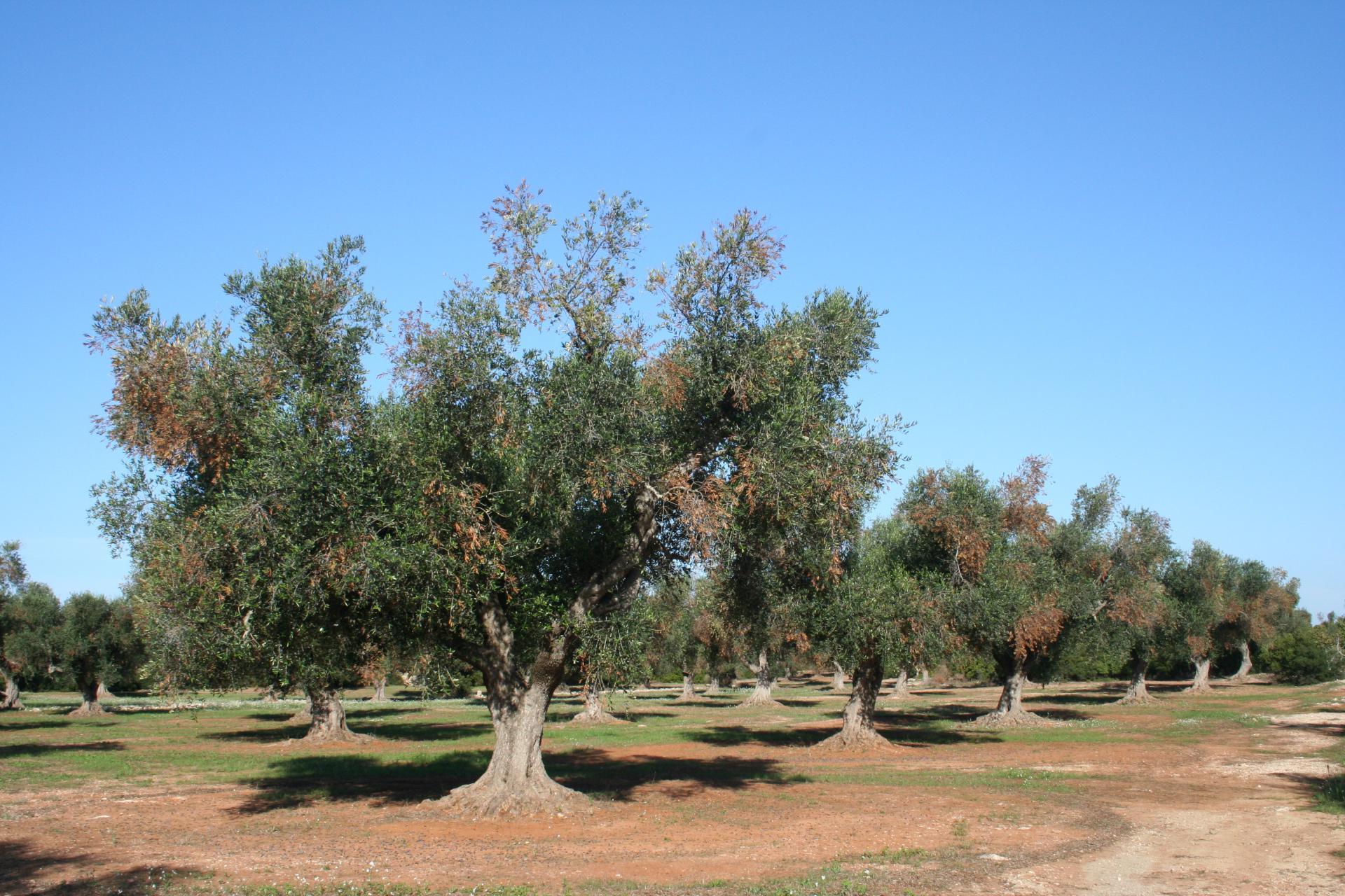Bolesne masline na jugu Italije
