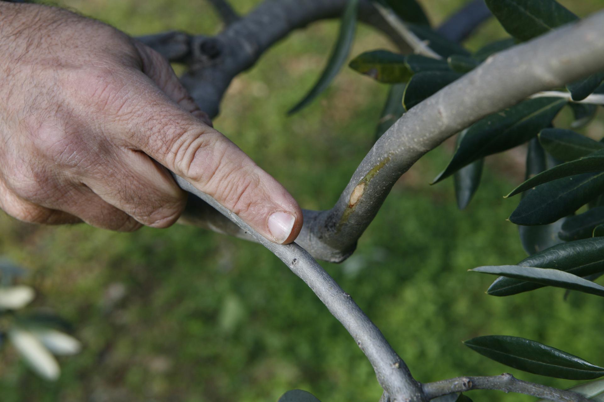 Jedna grana je oštetila drugu i treba je ukloniti jer se stvara rana, prilika za rak masline