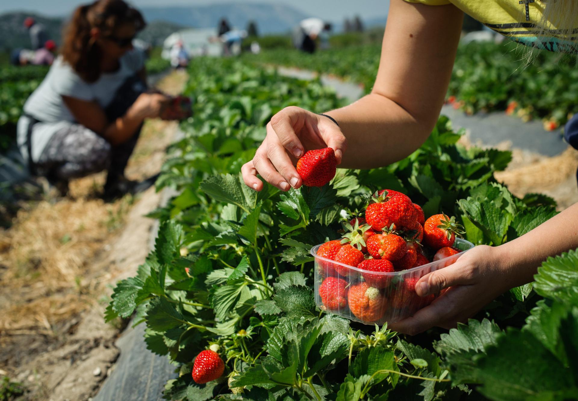 Domaći veletrgovci nemaju sluha ni za hrvatske jagode