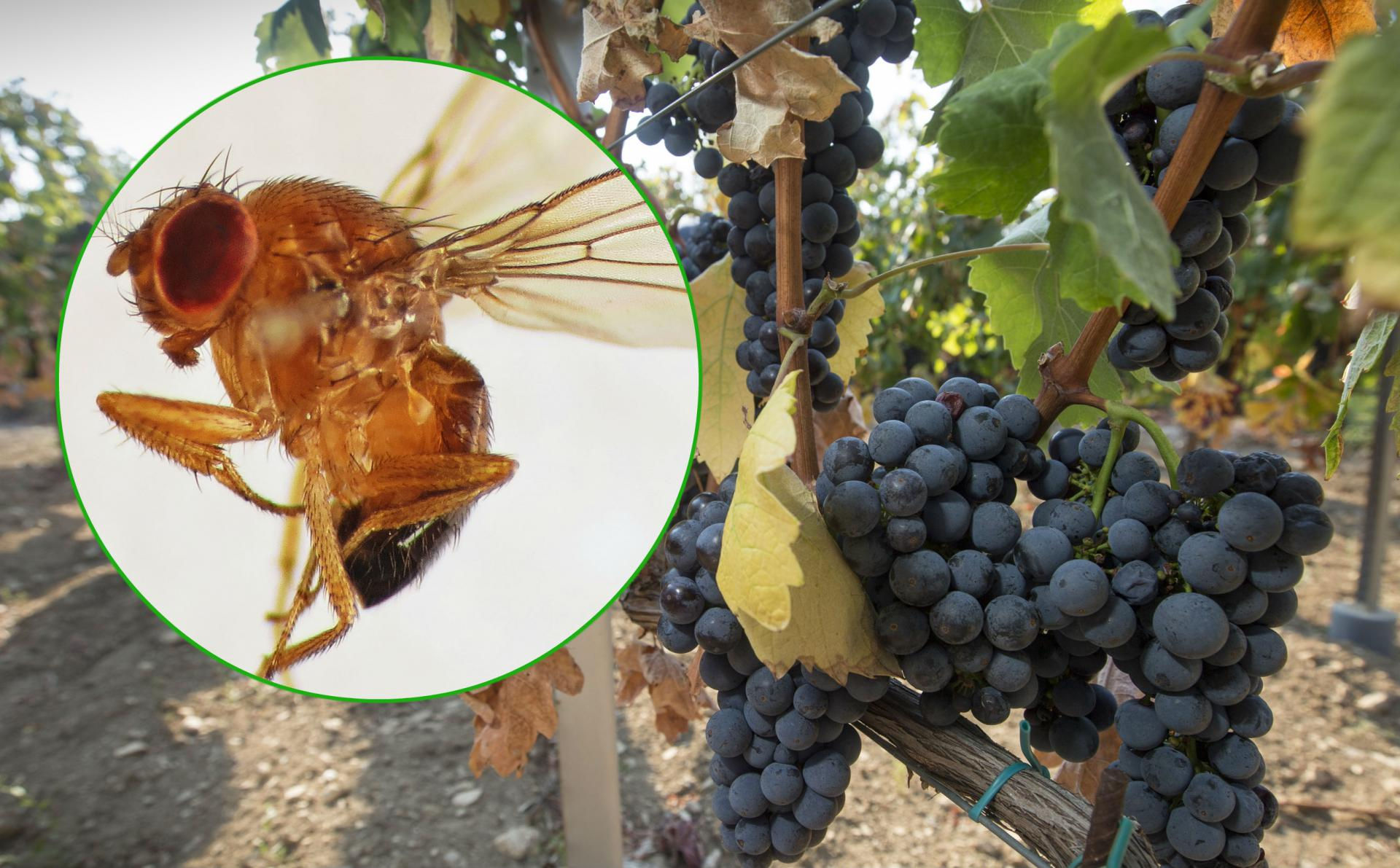 Drosophila suzukii i trsovi crljenka