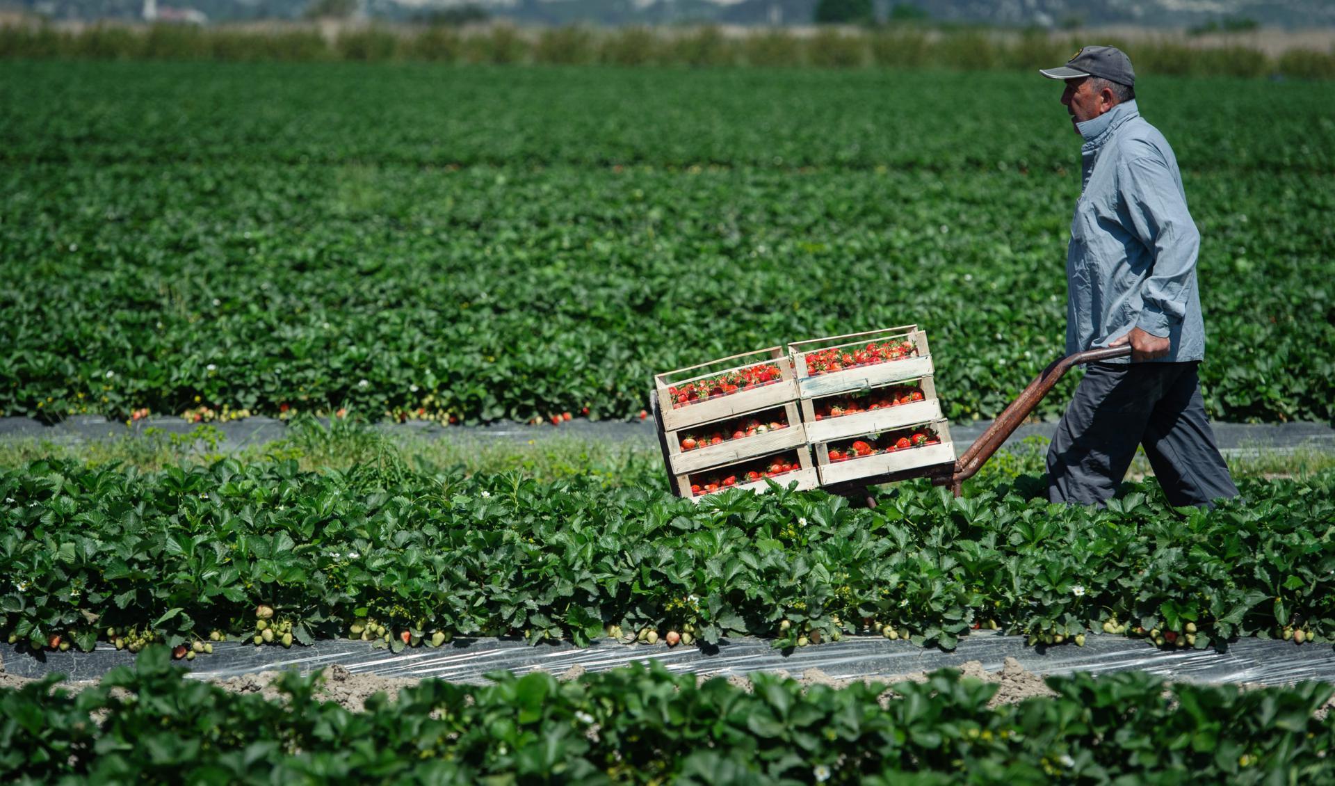 Berba jagoda na poljima u Opuzenu