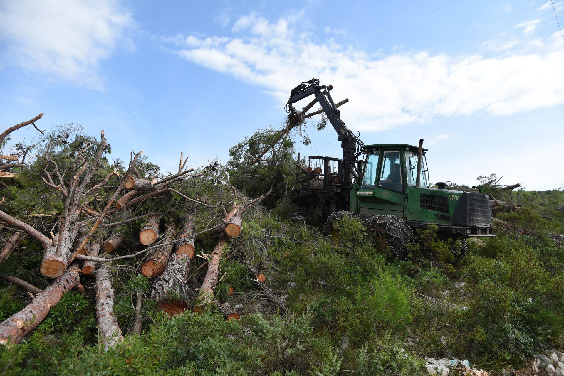 Krčenje šume na budućim nasadima rogača
