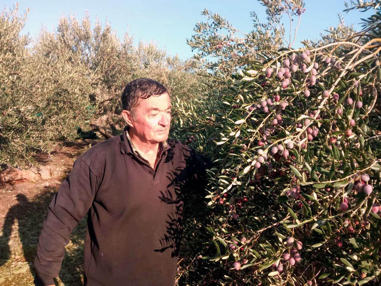 Ivo Lučić u svome masliniku na području Poljica