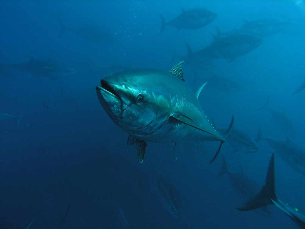 Plavoperajna tuna je najcjenjenija vrsta