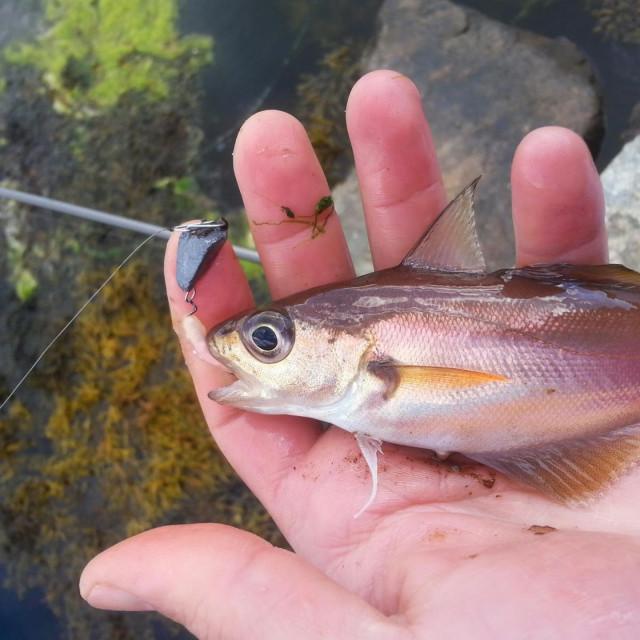 Mirne ribe najbrže napadaju varalicu na čeburaška <em>jiggu</em>