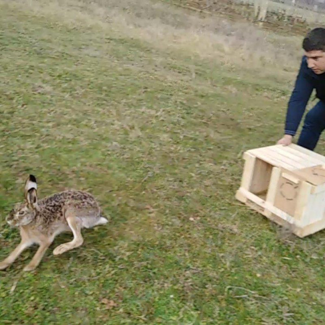 U specijalno izrađenim te prilagođenim drvenim sanducima, stigla je prva ovogodišnja pošiljka od ukupno 60-tak istarskih zečeva starih oko šest mjeseci.