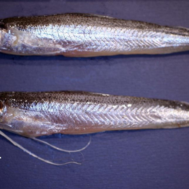 Bregmaceros nectabanus