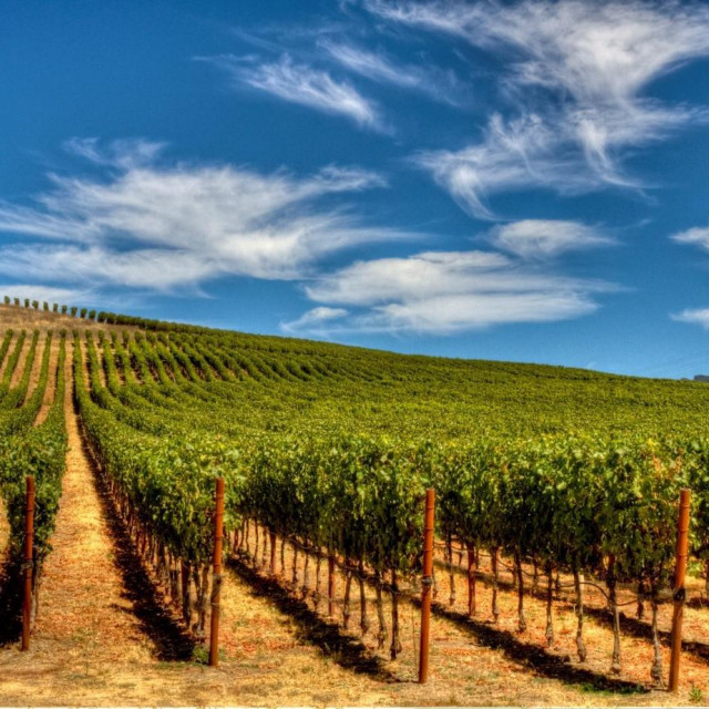 Vinograd bez korova