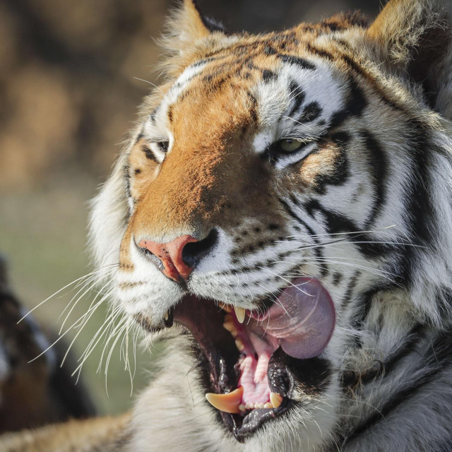 KEENESBURG, CO - APRIL 05: One of the 39 tigers rescued in 2017 from Joe Exotic's G.W. Exotic Animal Park relaxes at the Wild Animal Sanctuary on April 5, 2020 in Keenesburg, Colorado. Exotic, star of the wildly successful Netflix docu-series Tiger King, is currently in prison for a murder-for-hire plot and surrendered some of his animals to the Wild Animal Sanctuary. The Sanctuary cares for some 550 animals on two expansive reserves in Colorado. Marc Piscotty/Getty Images/AFP<br /> == FOR NEWSPAPERS, INTERNET, TELCOS & TELEVISION USE ONLY ==