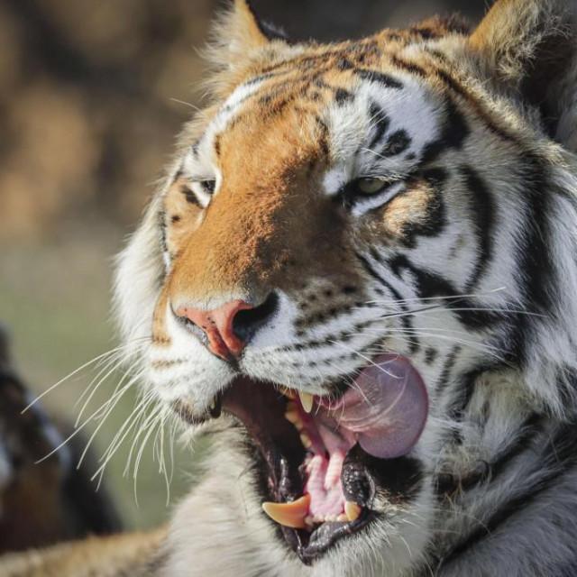 Tigrica Nadia pozitivna je na koronavirus