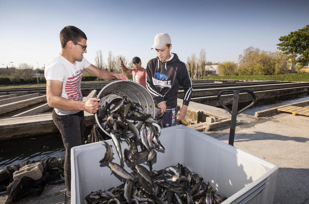 Vađenje kalifornijskih pastrva za prodaju u ribogojilištu 'Ritterman'