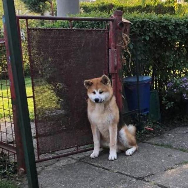 Novi pas Ibrice Jusića, pasmina Akita
