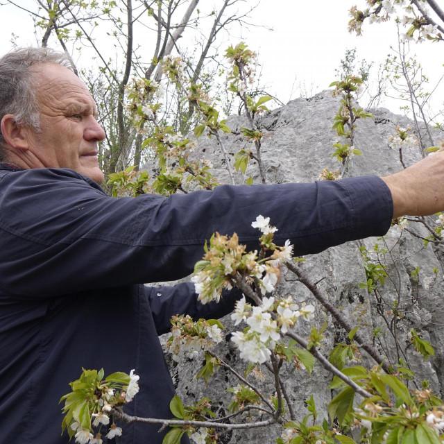 Slavko Medvidović: S jednog stabla može se ubrati i do 150 kilograma slatkog i zdravog kvalitetnog ploda. Neprskanog