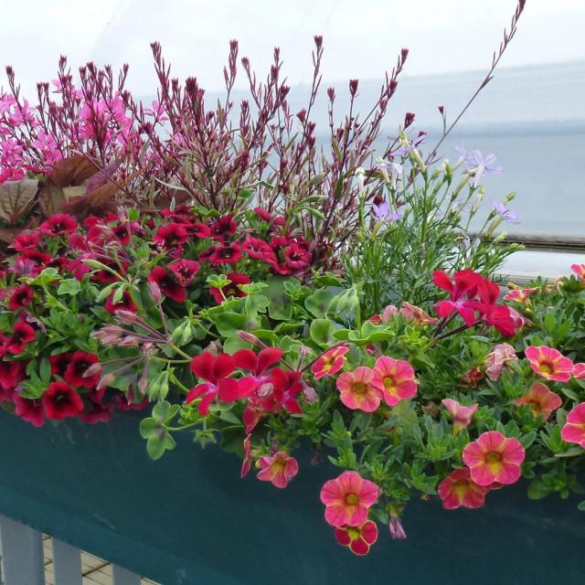 Cvjetajuće pelargonije i zvona naglašeni su tamnolisnim batatom