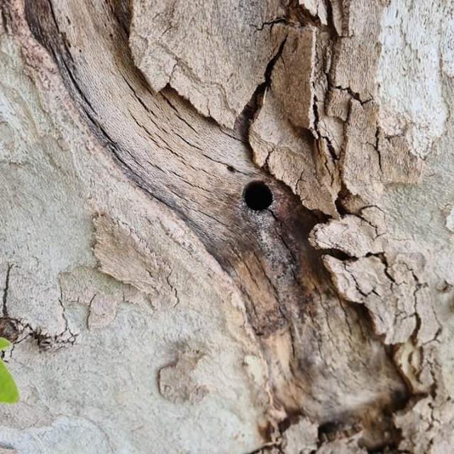 Oštećen drvored platana na Obali kralja Tomislava u Zadru