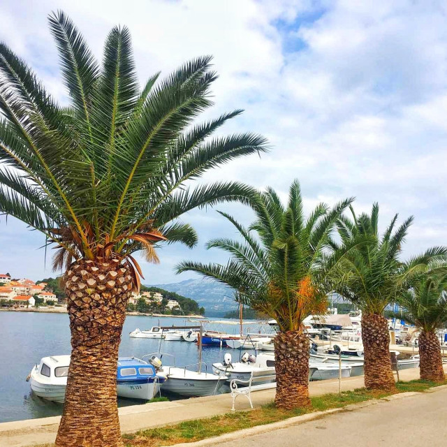 Stručnjaci su zabrinuti za budućnost korčulanskih palmi