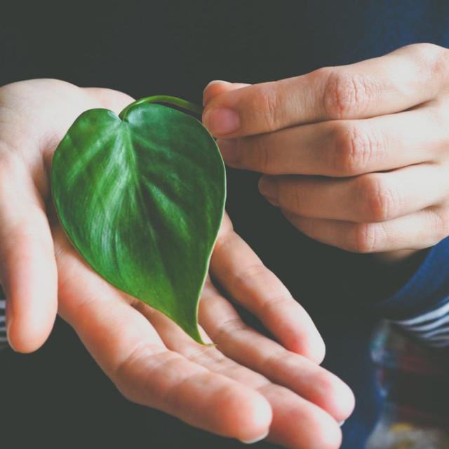 Philodendron s listovima u obliku srca
