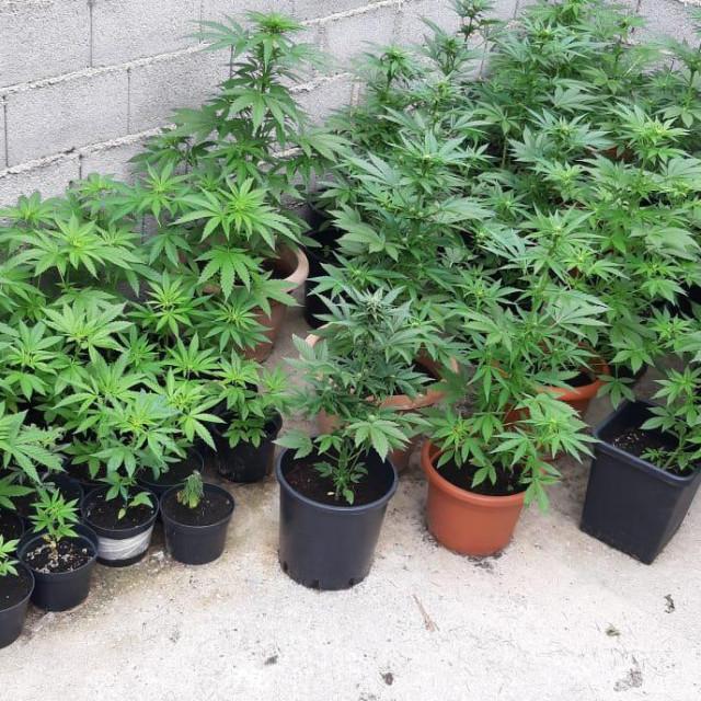 Pronađene stabljike marihuane