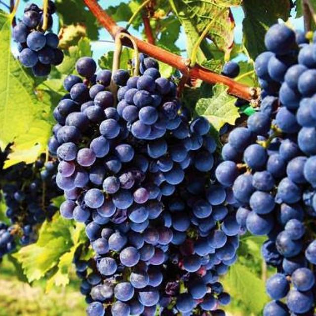Plamenjača (peronospora) i pepelnica u razdoblju cvatnje mogu učiniti velike štete vinovoj lozi