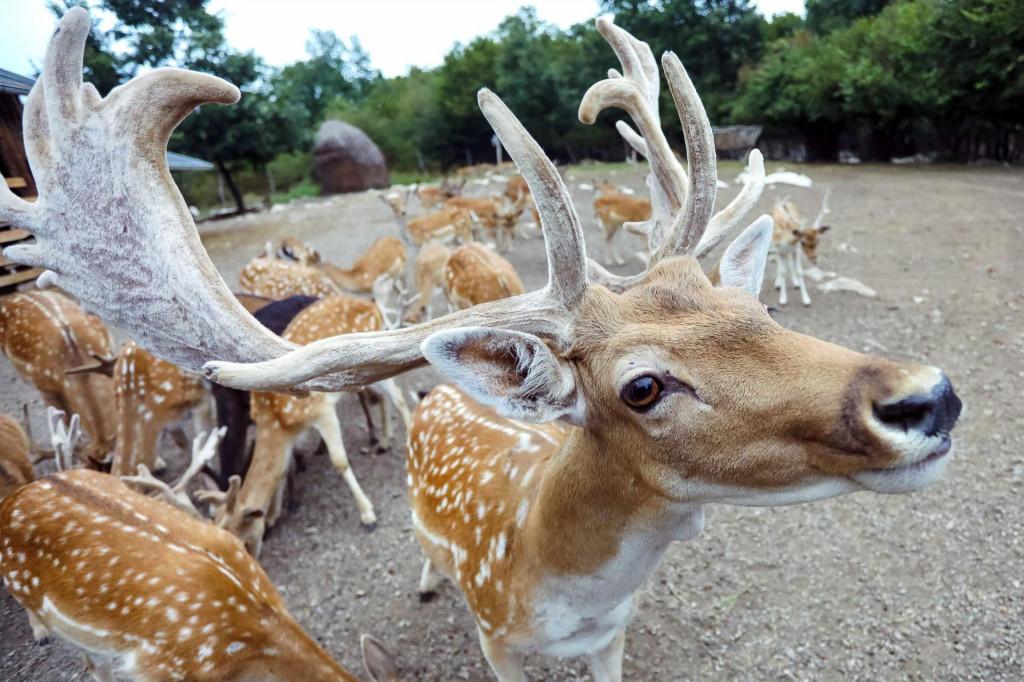 <br /> - 2019. U FOTOGRAFIJAMA CROPIX-A -<br /> <br /> <br /> Rakovica, 230819.<br /> Dreznik Grad.<br /> Ranch Dolina Jelena, u sklopu OPG-a Bicanic koji je osnovan 2009. godine, bavi se uzgojem obicnog jelena i jelena lopatara.<br /> Na fotografiji: jeleni na rancu.<br />