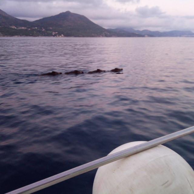 Obitelj veprova u standardnoj formaciji pliva s Lopuda na otočić Ruda ispred Šipana