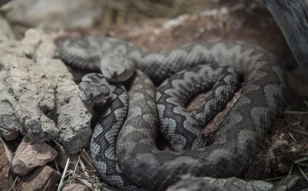 Poskok je najopasnija zmija na koju možete naići u Hrvatskoj. Bježi od ljudi i napada jedino ako misli da je životno ugrožena
