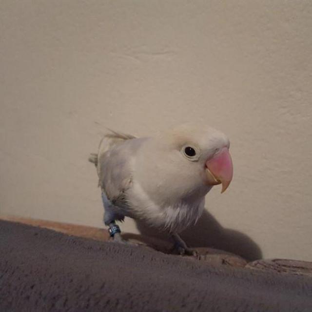 Izgubljena papiga