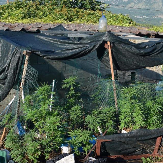 Stabljike cannabisa u Konavlima