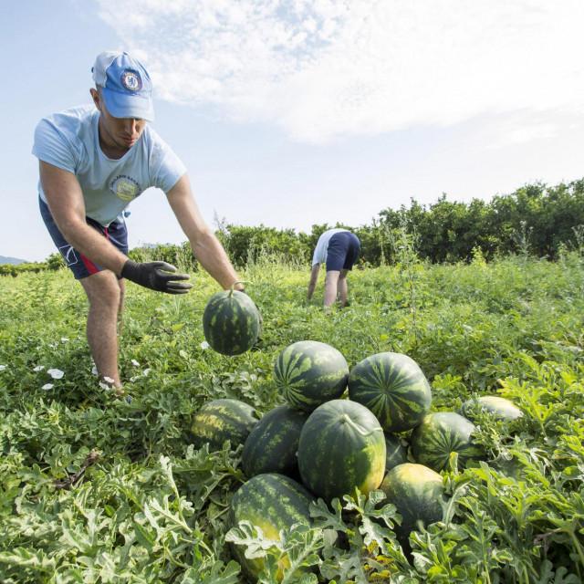 Izvrstan urod, slaba prodaja - lubenice s Neretve