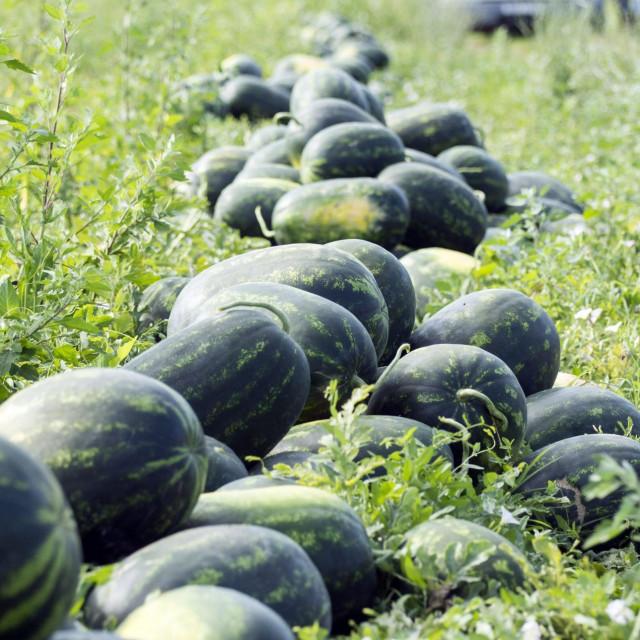 Lubenice na Neretvanskim poljima, tesko nalaze put do kupaca.<br /> Neretvanski poljoprivrednici nisu zadovoljini plasmanom i cijenom lubenice.<br />