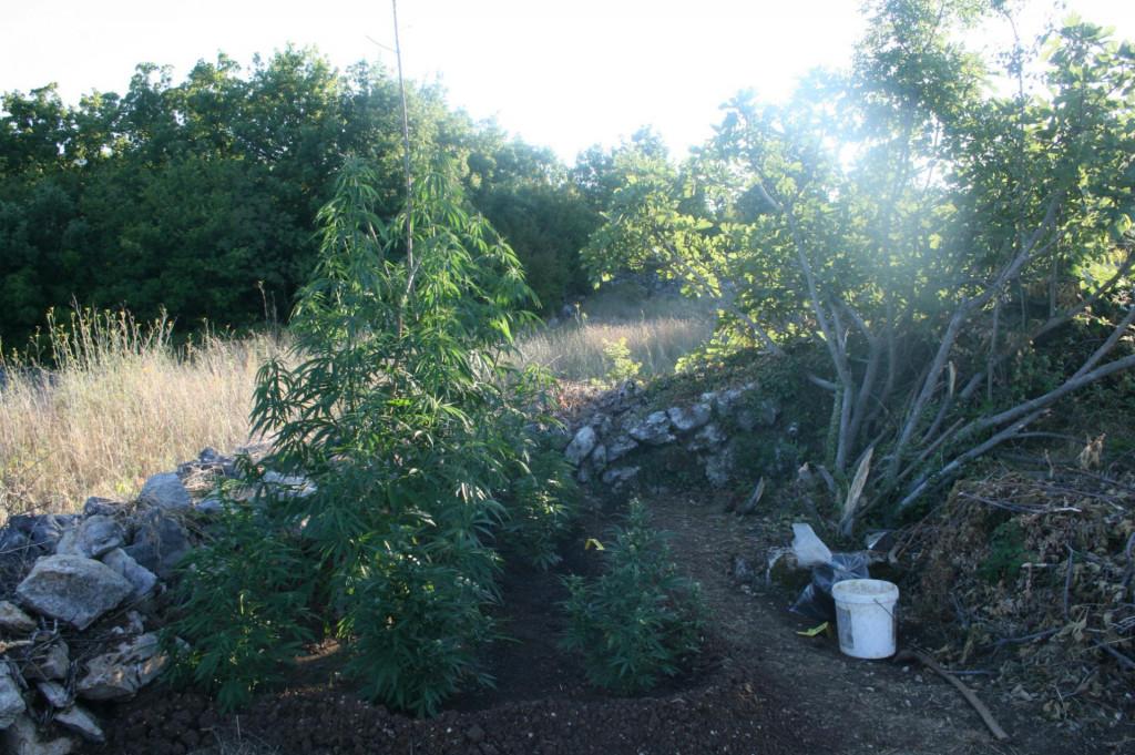 Stabljike marihuane na imotskom području