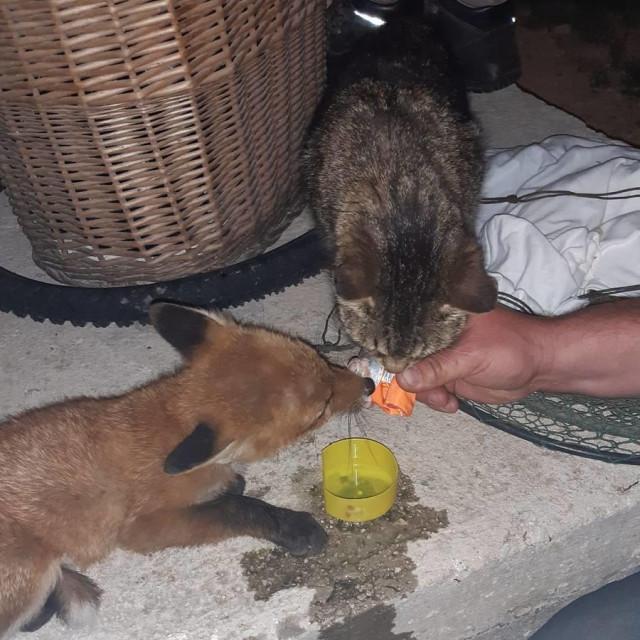 Lisica Bruna i mačka Jesika zajedno objeduju