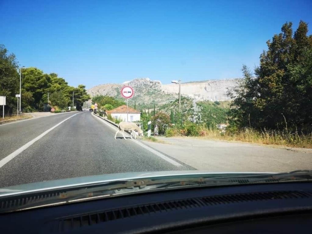 Ovce na cesti kroz Župu dubrovačku