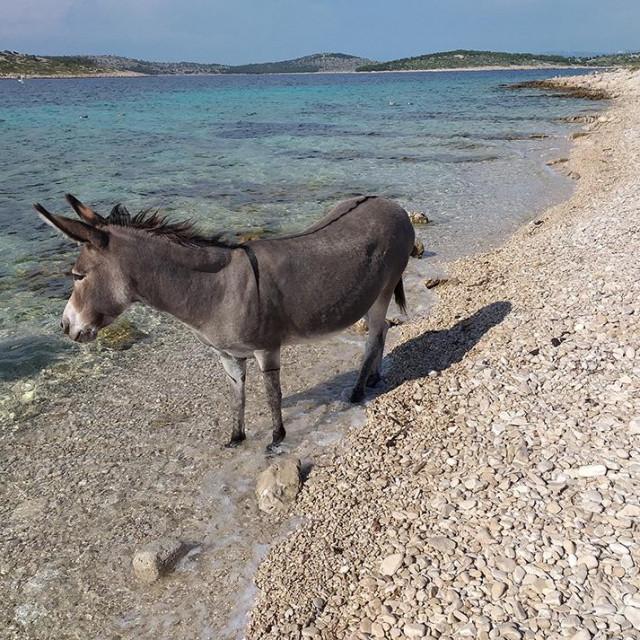 Česta je praksa ljeti magarce ostavljati na napuštenim otocima
