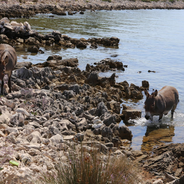 Spašavanje magaraca u kornatskom arhipelagu