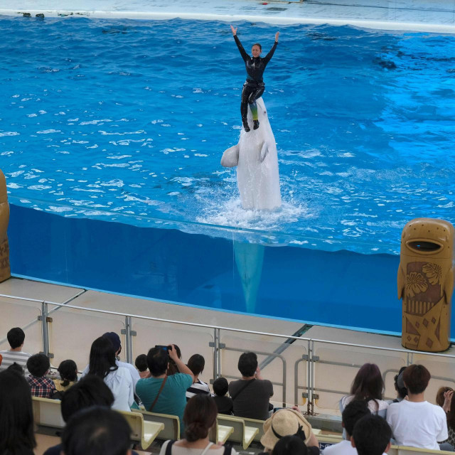 A beluga whale and a trainer perform during the dolphin show at the Hakkeijima Sea Paradise theme park, which was reopened on June 1 after about two months, in Yokohama on June 2, 2020 amid concerns over the spread of the COVID-19 coronavirus. (Photo by Kazuhiro NOGI/AFP)