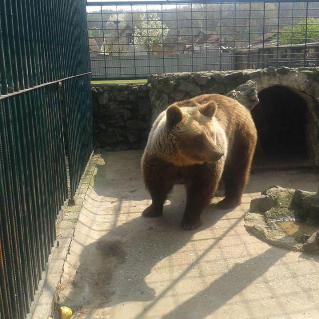 Medvjedica Suzana