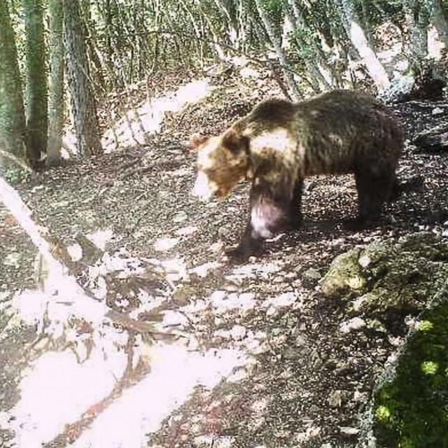 U šume Trentina puštene su populacije medvjeda, čiji su susretis ljudima postali učestaliji i opasniji