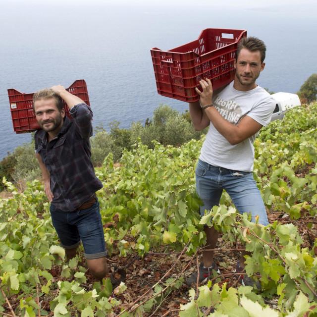 Berba plavca malog u vinogorju Dingač na Pelješcu<br />
