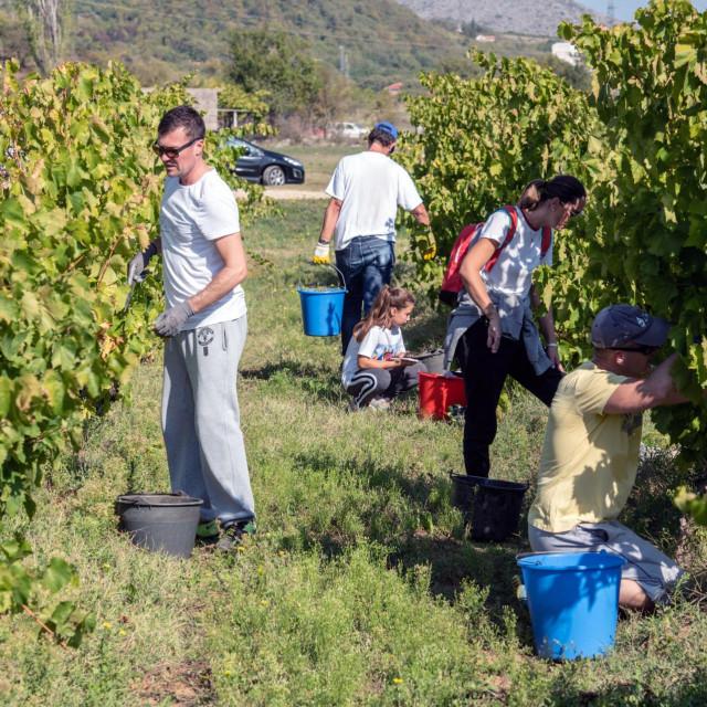 Ovako je bilo lani na berbi u vinogradima u Petrovom polju